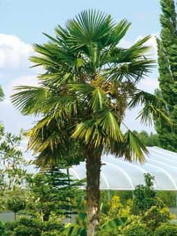 Winterharte Palmen aus unserer Baumschule