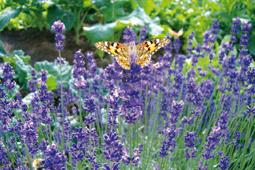 Lawendel und andere Formschnittpflanzen